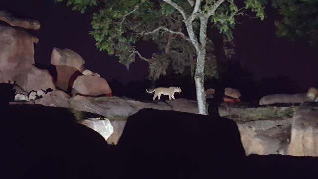 lions on night safari